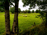 Ireland Sheep and Green Pasture